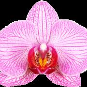 orchidFPO 180x180 - با جراحی واژینوپلاستی و لابیاپلاستی آشنا شوید