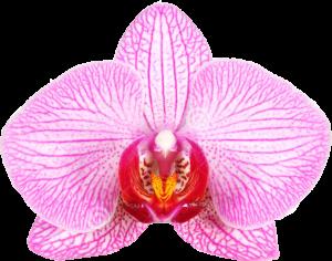 orchidFPO 300x236 - با جراحی واژینوپلاستی و لابیاپلاستی آشنا شوید