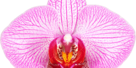orchidFPO 480x240 - با جراحی واژینوپلاستی و لابیاپلاستی آشنا شوید