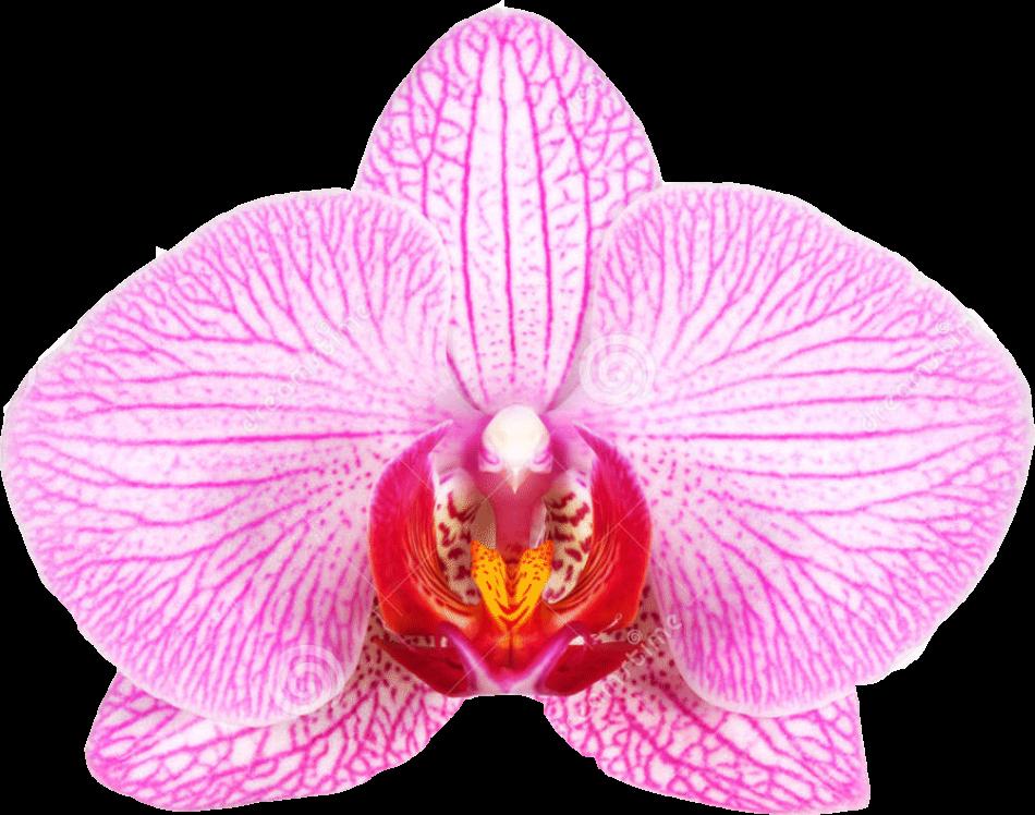 orchidFPO 950x748 - با جراحی واژینوپلاستی و لابیاپلاستی آشنا شوید