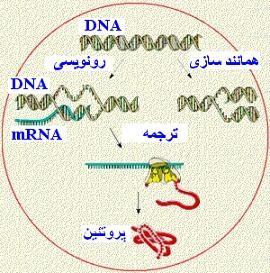 بهترین نوع بیان ژن پروتئین و جوانسازی پوست