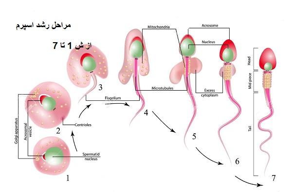 development of sperm - عجایب اسپرم مردان را بدانید! + انمیشن