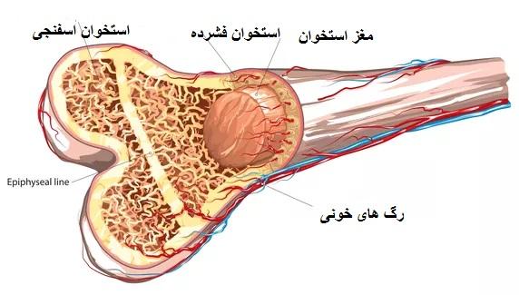 bone marrow - خدمات نوین تزریق پی.آر.پی PRP در بهترین مراکز تخصصی زیبان (تهران اسکین)
